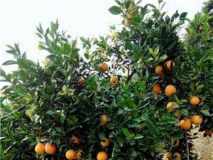 有脐橙一万多斤,果靓特别甜,有需要的请联系