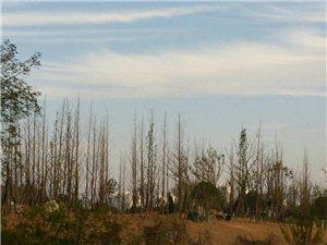 实中河对岸种植的清一色的都是些什么树啊,将来长出来一定很好看吧