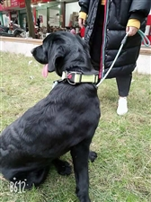 出售一只黑色的拉布拉多快一岁了带狗笼子一起因为没有精力照顾另外给它找个好人家母狗疫