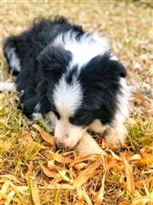 双血统边牧,黑白色,听话懂事,狗类智商第一,适合家养,八个月大公犬,因个人原因不能很好的陪伴,找个