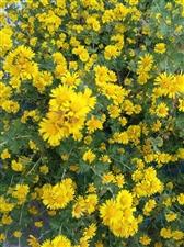 入冬小黄菊