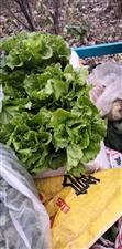 白菜萝卜大青菜生菜,油麦菜燕碎大量出售19939635890