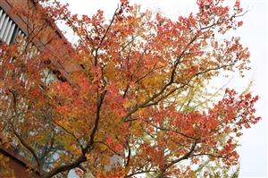 同样的秋天,同样的枫叶,同样的旋律,却再也找不到曾经的熟悉的自己