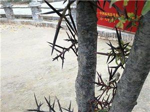 好多年没见过皂角树