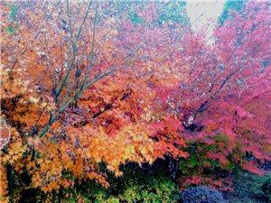 鸡爪槭还是成片栽植效果更好,一棵是点缀,百棵成惊喜!有规模才有风景。汉中市内红叶风景还欠缺。
