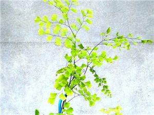 无聊时,我就这样打发时间,一块青苔,一颗铁线蕨,把它们变成一个美美的小盆栽。