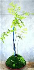 无聊?#20445;?#25105;就这样打发时间,一块青苔,一颗铁线蕨,把它们变成一个美美的小盆栽。