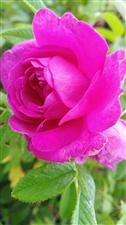 小诗一首:花之情-伊春市,大草原