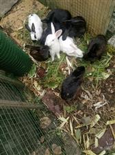 我最好的同学退休了,自己养的可爱的小白兔和小黑兔还有老母鸡和大公鸡