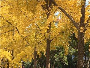 无需去什么随州银杏谷,不用走远,在我们荆门象山二路就有金色的银杏看。