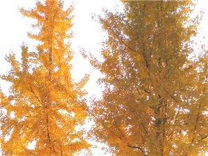 江边一片金黄,游人拍照忙;摆姿展笑留佳影,美丽记心上。