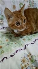 帮朋友寻一只小橘猫(小公猫)谁家有?