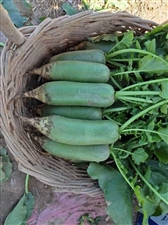 纯正的天津西青沙窝萝卜目前是这个样子的,鲜绿脆甜吃起来都说赛鸭梨哦!