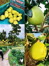 纯天然红心柚