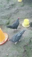 秀秀蛋鸡??图片