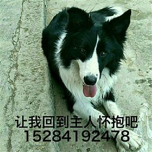 【寻狗】明天向古宋老城区出发,老城区的朋友们帮忙留意下它。