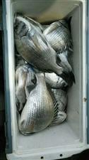 新鲜野生天然海鲫鱼