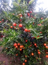 自己种的果果,新品种:东方红