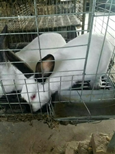 收购5斤左右的兔子.13756360776
