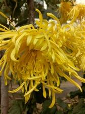 冬日里坚强的菊花