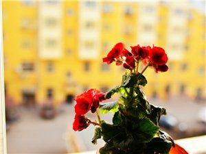 我��栽培的海棠花�_了