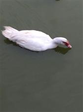 土鸭出售价格优惠送货上门,电话17744098724微信lw802388
