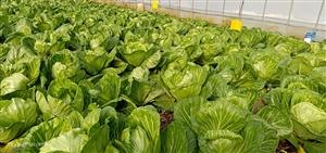 现有包头菜二万多斤出售,个大绿脆,有需要的朕系我谢谢。