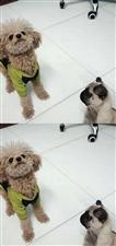 泰迪狗狗领养,想找一位有爱心的同城人士