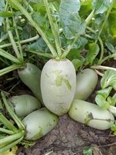 李桥村民种出美味萝卜一窝青,目前已在农贸市场上市!