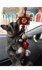 转让一只澳洲蜜袋鼯飞鼠