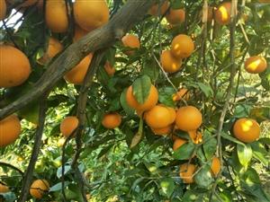 红鱼甜橙,自己家种的,欢迎采购,兴文在线的朋友有优惠