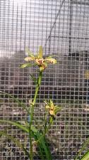 单苗开花的秋芝多瓣奇花金枝玉叶开花了,虽然瓣子少了点,阳光下,依然美丽动人??????