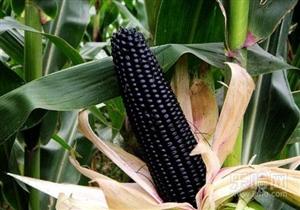 黑色玉米糁�D�D你想要的,就是我在做的!
