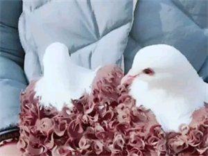 马夹芙蓉鸽喜欢吗?