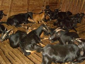 冬至到了,有需要黑山羊的速度,放养,自己养的量不多,双流,联系电话15885009078