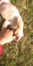 急!急!急!在下单身24年狗,养的唯一一只拉布拉多幼犬掉了!