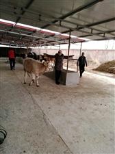 【镜头看变化】木河高山村:牛壮羊肥奔小康