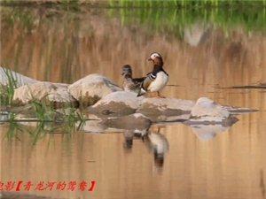 青龙河的鸳鸯