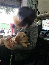 寻狗启示:在博都广场遗落一只拉布拉多犬,请好心人帮忙留意。