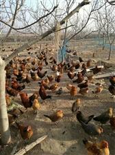 出售林下柴鸡