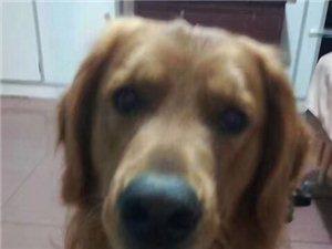 寻狗,金毛,1月4日在老森铁俱乐部附近丢失一只金毛