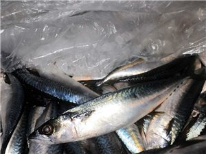 海鱼到货了