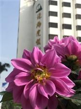 花开富贵-摄于珠海度假村酒店