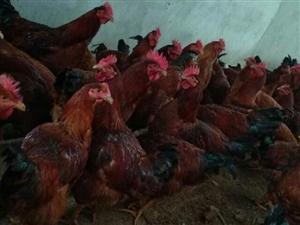 农家散养鸡,不吃食料,肉质鲜嫩。