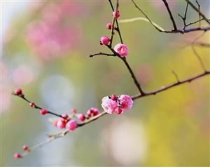 梅花傲霜凤城香,不惧严寒而盛开。