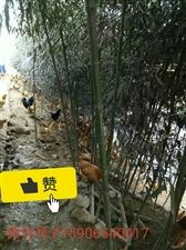 农家散养本地土鸡/蛋
