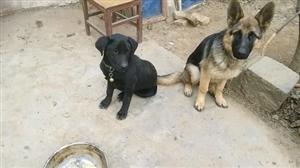 转让五个多月的黑色的拉布拉多犬