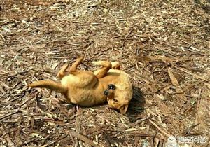 好狗绝不死在家中,为什么农村土狗临死前要离开家?