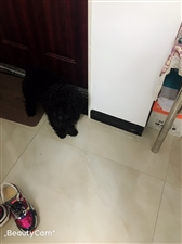 寻找黑色泰迪狗