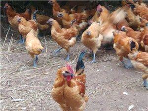 乌骨跑山鸡,纯放养,纯粮食。需要联系哦18090944218乌骨跑山鸡,纯放养,纯粮食
